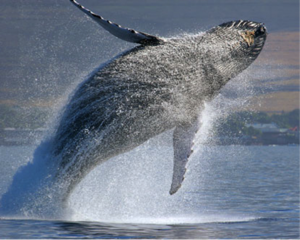 Jumping-Humpback-Whale-creative-commons-e1363537128157